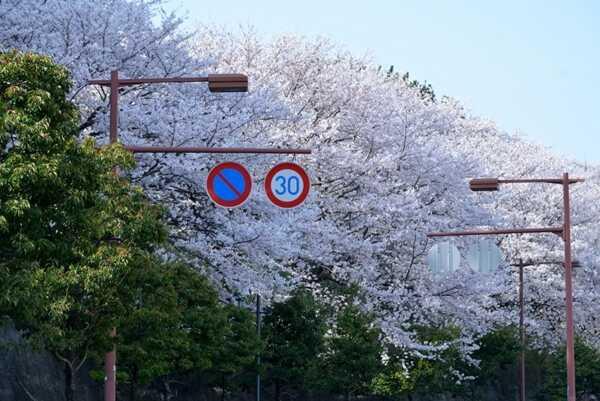 西公園外に溢れ出る桜の樹々