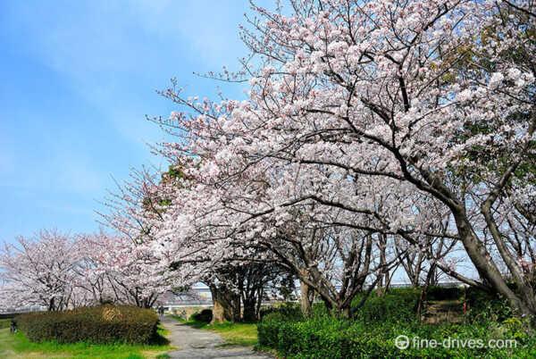 河畔公園の桜並木