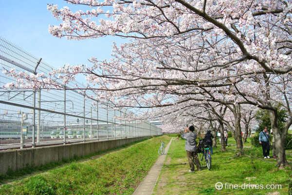 室見川河畔公園の桜並木