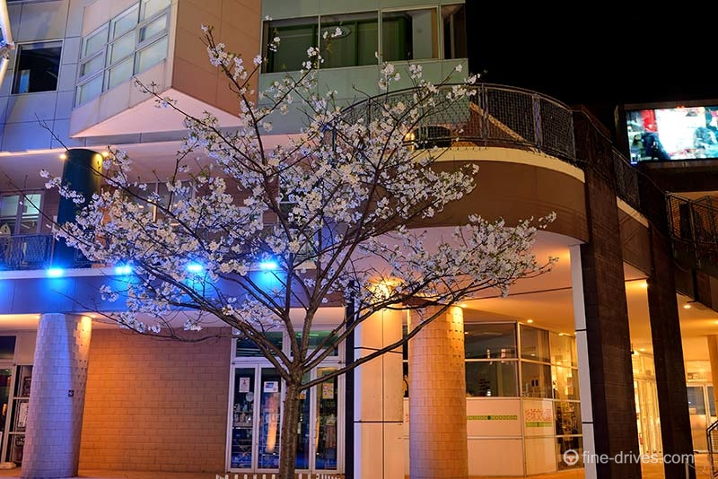 ベイサイドプレイス博多の桜